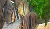 Symphysodon wild heckel