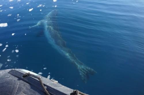 balena cocoasa 2