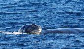 balena de groenlanda