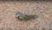 Un peste care poate trai pe uscat ameninta tarmul Australiei