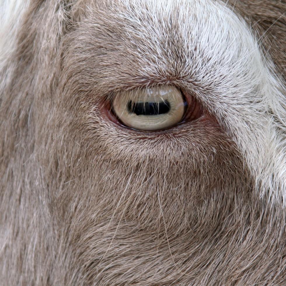 capra ochi