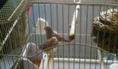colivie cinteza australiana zebrata