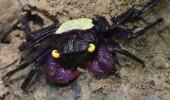 crab vampir