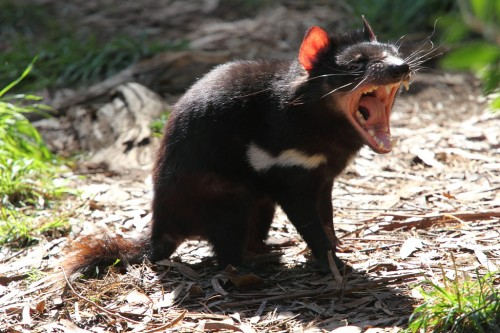 Diavolii tasmanieni, readusi pe continentul australian?