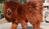dogul de tibet 2