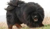dogul de tibet1