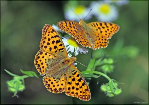 Sute de specii de fluturi ar putea disparea din cauza schimbarilor climatice