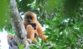 A fost descoperita o noua familie de giboni hainan, cea mai rara specie de maimute din lume