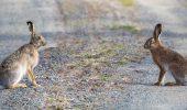 iepuri pe drum