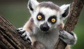 Lemurul. Animalul facut celebru de King Julien