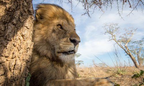 """Jericho, """"fratele"""" leului Cecil, este in viata!"""