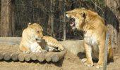 Ligru – cea mai mare felina din lume