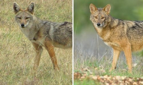 A fost descoperita o noua specie de lup