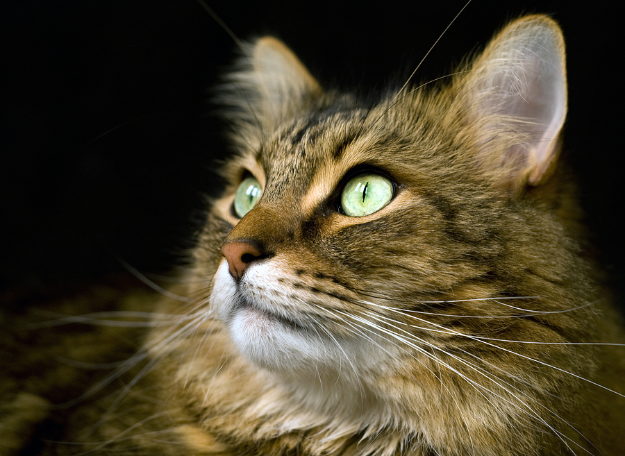 Handsome adult maine coon cat on black background