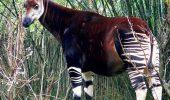 Okapi, un ciudat animal din padurile ecuatoriale ale Africii