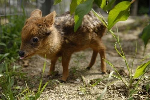 Cea mai micuta caprioara din lume!