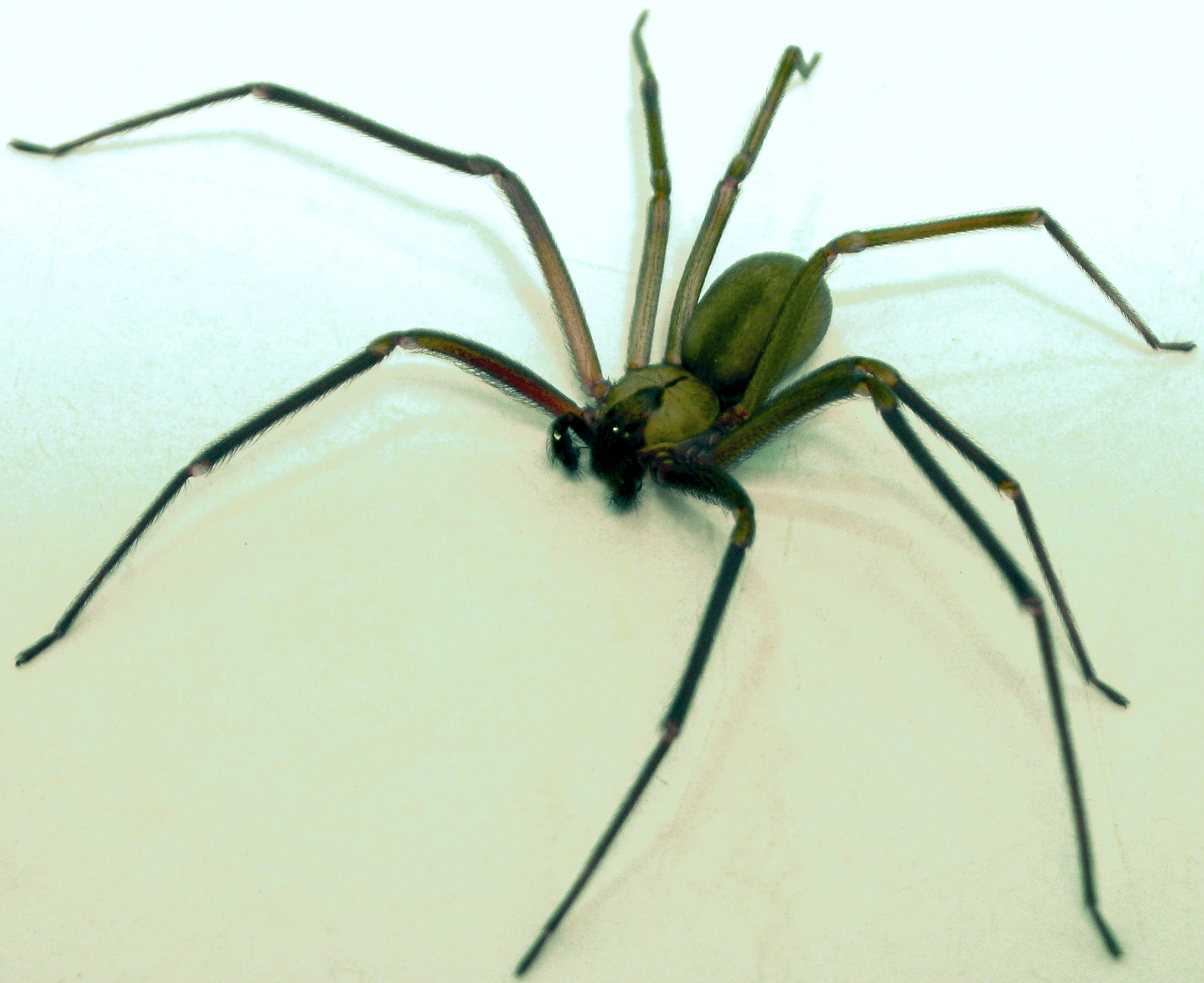 brown recluse images - HD2175×1776