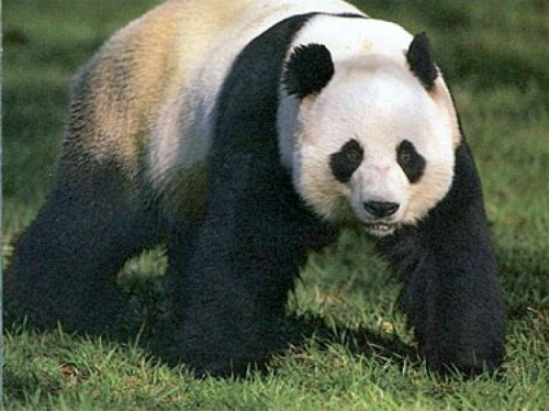 Inseminare artificiala pentru o ursoaica panda gigant