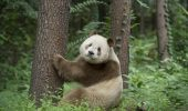 Un Panda rar, gasit in muntii din China
