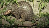 pangolin filipine