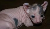 pisica elf
