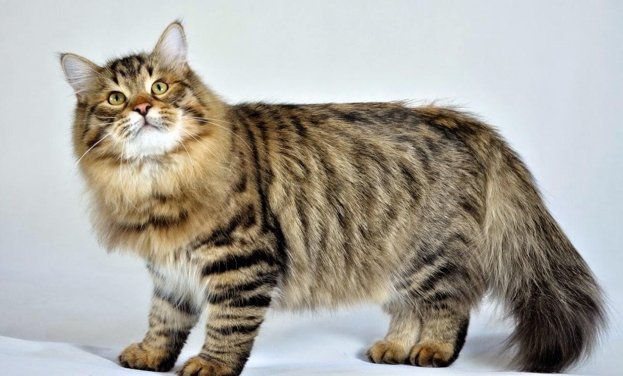 pisica siberiana