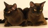 pisici-burmeze1