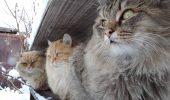 Gingasele pisici sau animale de prada in toata regula?