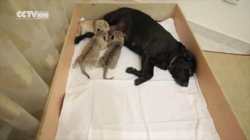 O catea a adoptat trei pui de ligru