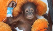 A veterinary team from International Animal Rescue is fighting for the life of a baby orangutan in Borneo so traumatised by the loss of his mother, and being snatched from the forest, that he completely lost the will to live.   Udin, a tiny baby of only a few months old, was almost certainly clinging to his mother when she was shot or hacked down with a machete while trying to protect her infant. He was probably torn from her warm body before being sold as a pet to a local farmer. The ordeal had a severe effect on the little orangutanís health. He was kept locked up and alone in a small, dark cage ñ a terrifying experience for a young animal that would normally depend on his mother for comfort and protection during the first years of his life. When he arrived at the IAR Orangutan Centre in Borneo Udin showed no interest in his surroundings and turned away from the rescuers trying to save his life. He was severely malnourished and dehydrated but had no desire to eat, to drink or to live. His mind and body were detaching from the world around him. Pictures released today by International Animal Rescue shows the team comforting and caring for Udin shortly after his rescue:  Vet nurse Sara has described how Udin literally ìtried to die several times, but we wouldnít let him and just kept interacting with him and doing lots of physiotherapy and exercises so he could not ignore us and had to learn to trust us as his sole link to survival. Eventually, after around ten days, he turned a corner. He started to respond to us and show an interest in food. Finally there was a glimmer of light in his sad dark eyes.î  Although his condition is more stable, Udin still requires constant care and intensive medical treatment.  Alan Knight, IAR Chief Executive, said: ìThe vets are doing everything they can to give Udin the best chance of survival. From the moment he was rescued, members of the team have stayed with him round-the-clock and still sleep on the floor beside him so that they can comfort and console him during the dark hours of the night. He clings constantly to a large fluffy teddy bear, just as he would have clung to his mother in the wild.î International Animal Rescue is keen to emphasise that Udinís story is not an isolated case. ìWe have 86 orangutans in our rehabilitation center, all with stories as heartbreaking as Udinís,î said Knight. ìWhat makes his case particularly poignant however is the fact that he had suffered so much that he had completely given up on life. By the time we rescued him his mind and body were shutting down. But our medical team refused to give up on him and slowly they are winning the battle to save him.î ìUdin still faces a long road ahead but at least now we all dare hope that eventually he will recover. Baby orangutans are extremely vulnerable to sickness and disease, particularly when they have suffered a very poor start in life. The next few weeks will be a critical time in Udinís recovery. The condition of a baby like him can literally change overnight but we will be monitoring his progress closely for any signs of deterioration in his health.î Featuring: You can help nurse Udin back to help by donating. For further info: info@internationalanimalrescue.org Where: Borneo, Indonesia When: 30 Jul 2015 Credit: Supplied by WENN.com **WENN does not claim any ownership including but not limited to Copyright, License in attached material. Fees charged by WENN are for WENN's services only, do not, nor are they intended to, convey to the user any ownership of Copyright, License in material. By publishing this material you expressly agree to indemnify, to hold WENN, its directors, shareholders, employees harmless from any loss, claims, damages, demands, expenses (including legal fees), any causes of action, allegation against WENN arising out of, connected in any way with publication of the material.**