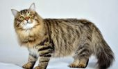 Rase de pisici hipoalergenice