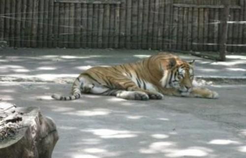 O îngrijitoare, ucisă de un tigru la o grădină zoologică