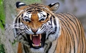 tigru2