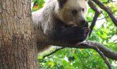 Sapte ani de la infiintarea Rezervatiei de ursi LiBearty, de la Zarnesti