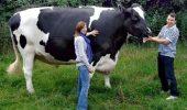 Vaca rezistentă la tuberculoza bovină
