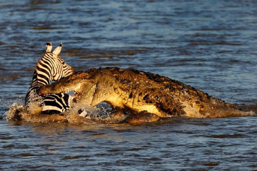 1crocodile-Maasai-Mara-Kenya-on-August-23-2015