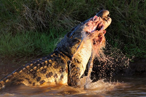 5crocodile-Maasai-Mara-Kenya-on-August-23-2015