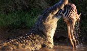 7crocodile-Maasai-Mara-Kenya-on-August-23-2015