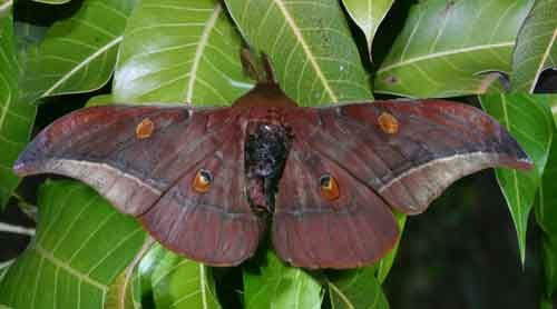 Antheraea assamensis