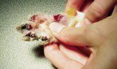Este sau nu o barbarie? Scoaterea definitiva a unghiilor pisicii!