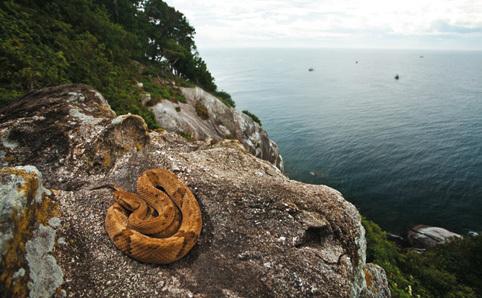 Ilha-da-Queimada-Grande-snake-island1