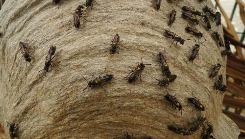 Veninul unor viespi din Brazilia, o arma eficienta in lupta impotriva cancerului