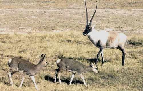 antilope chiru