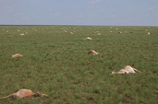 antilope moarte 1