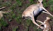 Zeci de mii de antilope, moarte in Kazahstan