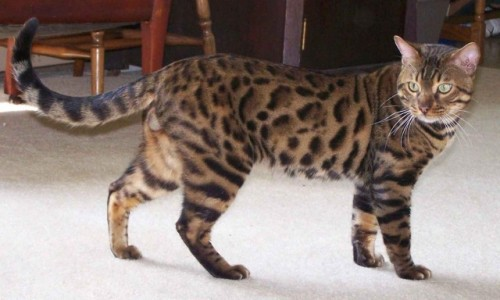 bengaleza sursa foto: animale.ro