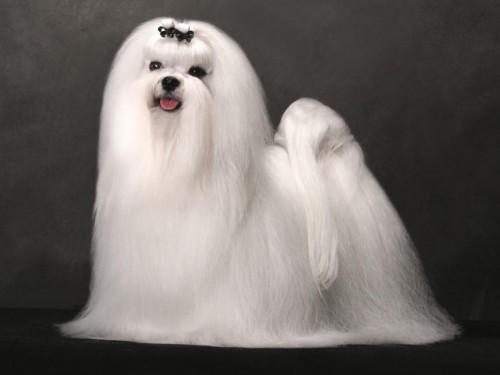 Bichon-ul maltez – aristocratul lumii canine!