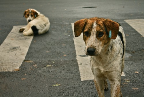 StarRomania cere primarilor sa se implice in rezolvarea problemei cainilor vagabonzi