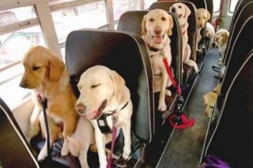 Si pisicile vor cu autobuzul!