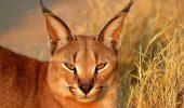 "Caracalul sau ""pisica de gazela"""
